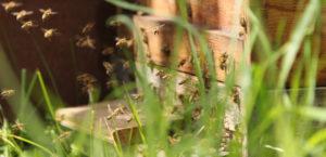 Sciami di api in Calabria